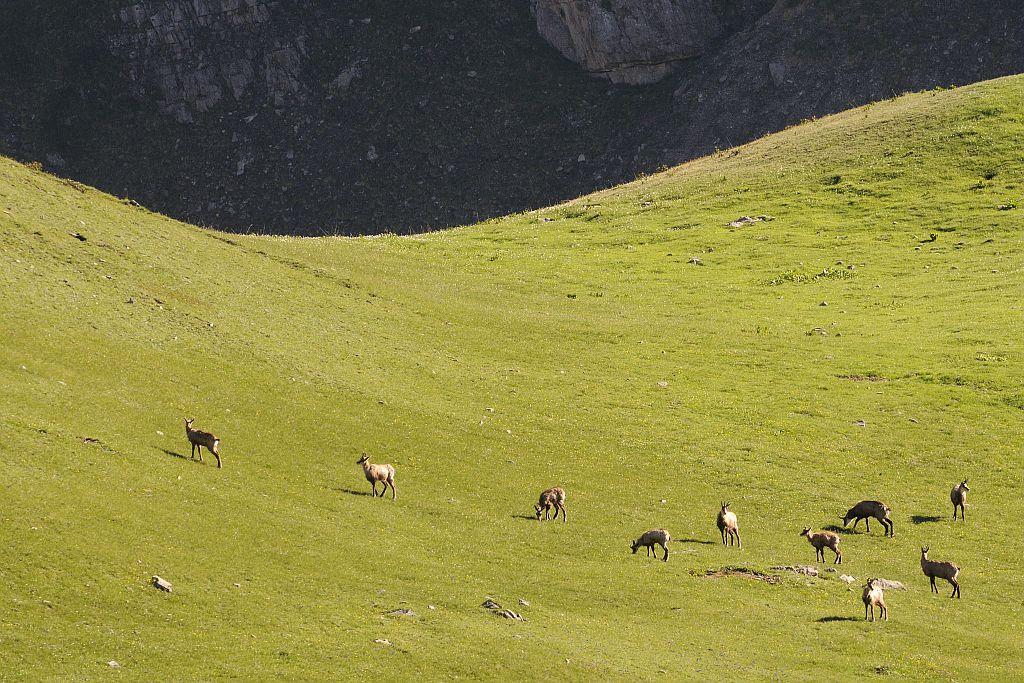 Chamois à Chargès - Réallon © Mireille Coulon - Parc national des Ecrins