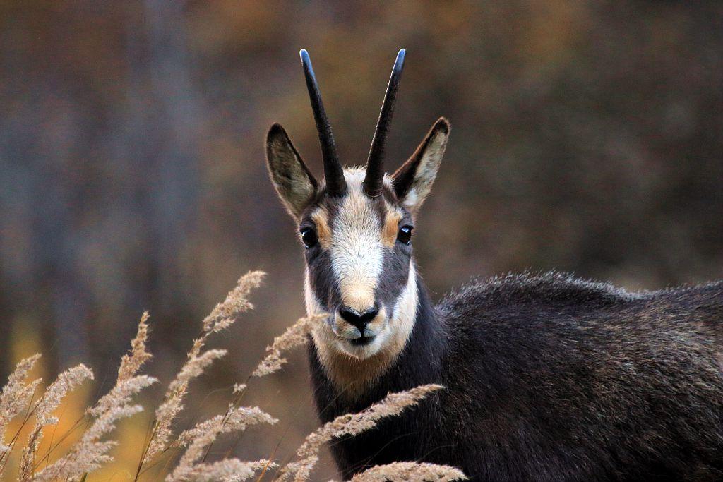 Chamois mâle - vallon de Celse Nière © Christophe Albert - Parc national des Ecrins