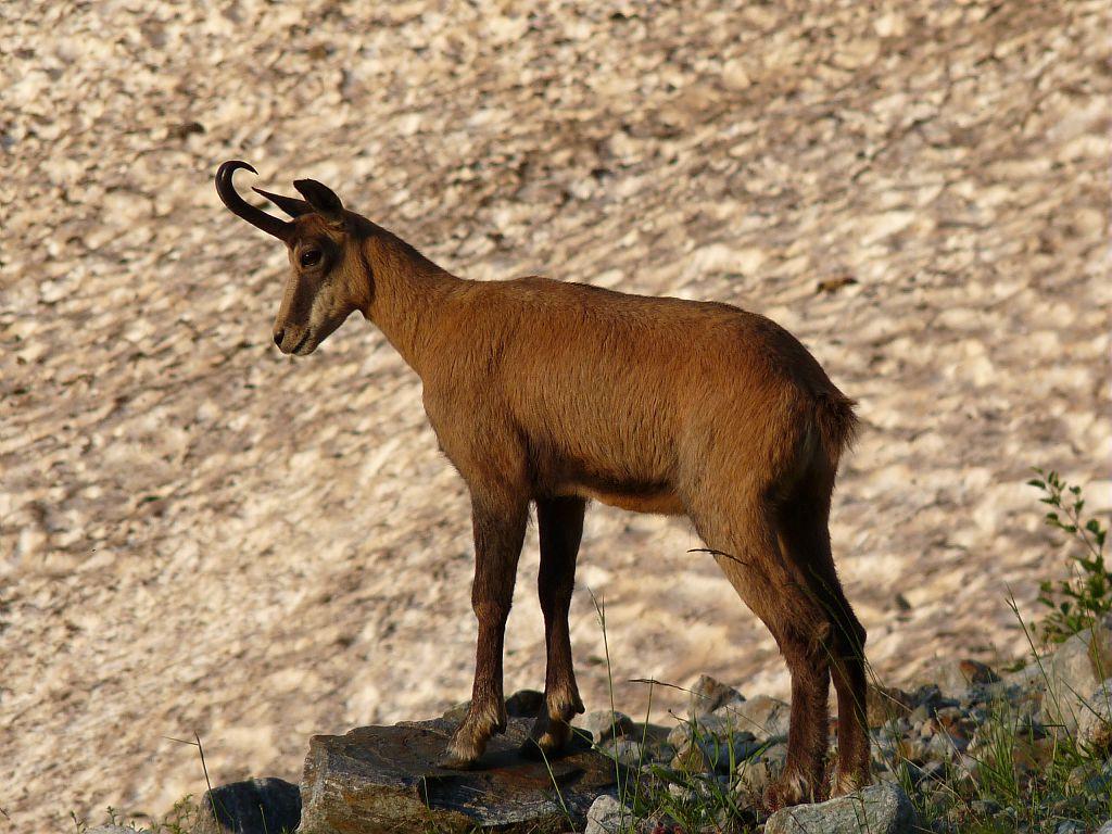 Chamois mâle - Vallon du Sélé - Pelvoux © Emmanuelle Dova - Parc national des Ecrins
