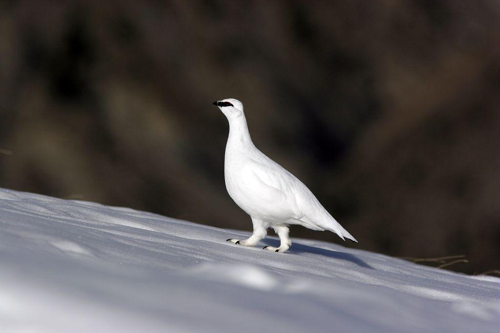 Lagopède en plumage d'hiver © Robert Chevalier - Parc national des Ecrins