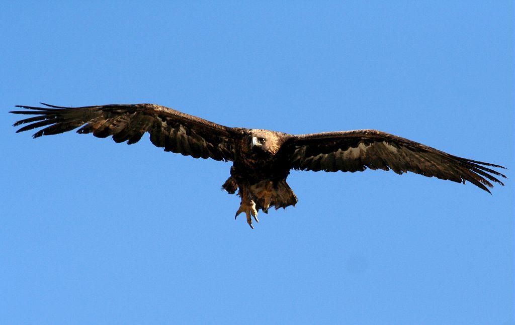 Aigle royal, serre pendante © Christian Couloumy - Parc national des Ecrins