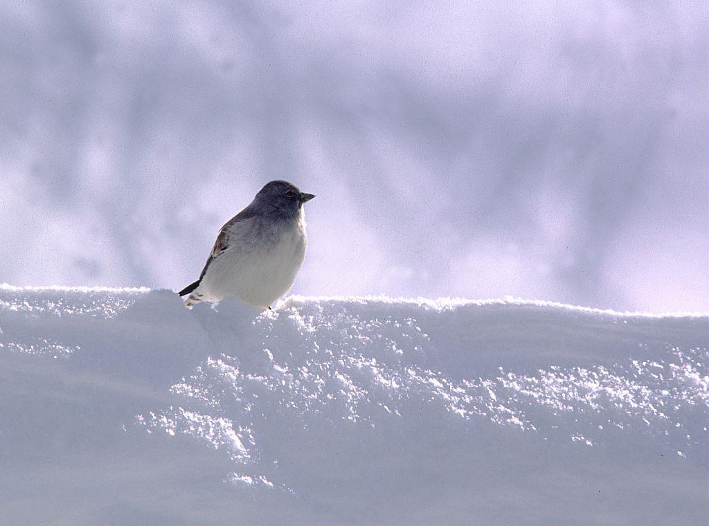 Niverolle alpine en hiver  © Claude Dautrey - Parc national des Ecrins