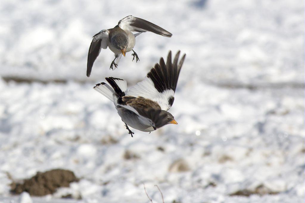 Niverolles alpines en vol © Pascal Saulay - Parc national des Ecrins