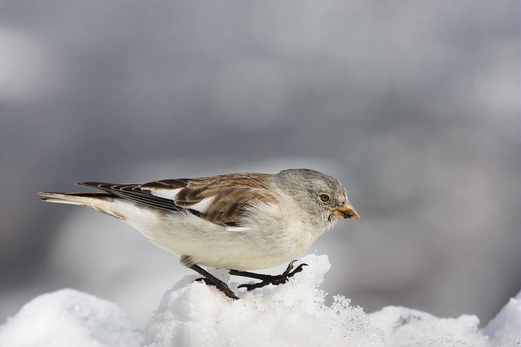 Niverolle alpine en hiver © Damien Combrisson - Parc national des Ecrins