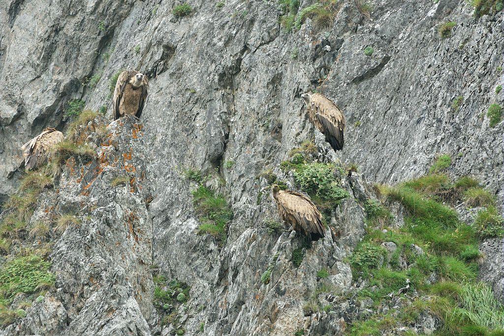 Vautours fauves posés © Mireille Coulon - Parc national des Ecrins