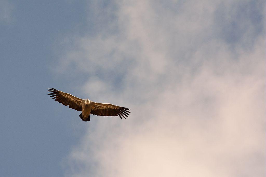 Vautour fauve en vol © Mireille Coulon - Parc national des Ecrins