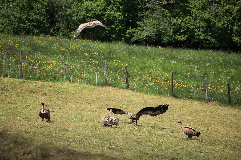Vautours fauves - charognage sur 2 cadavres d'agneaux - Les Cousteilles - Ancelle - Champsaur © Marc Corail - Parc national des Ecrins