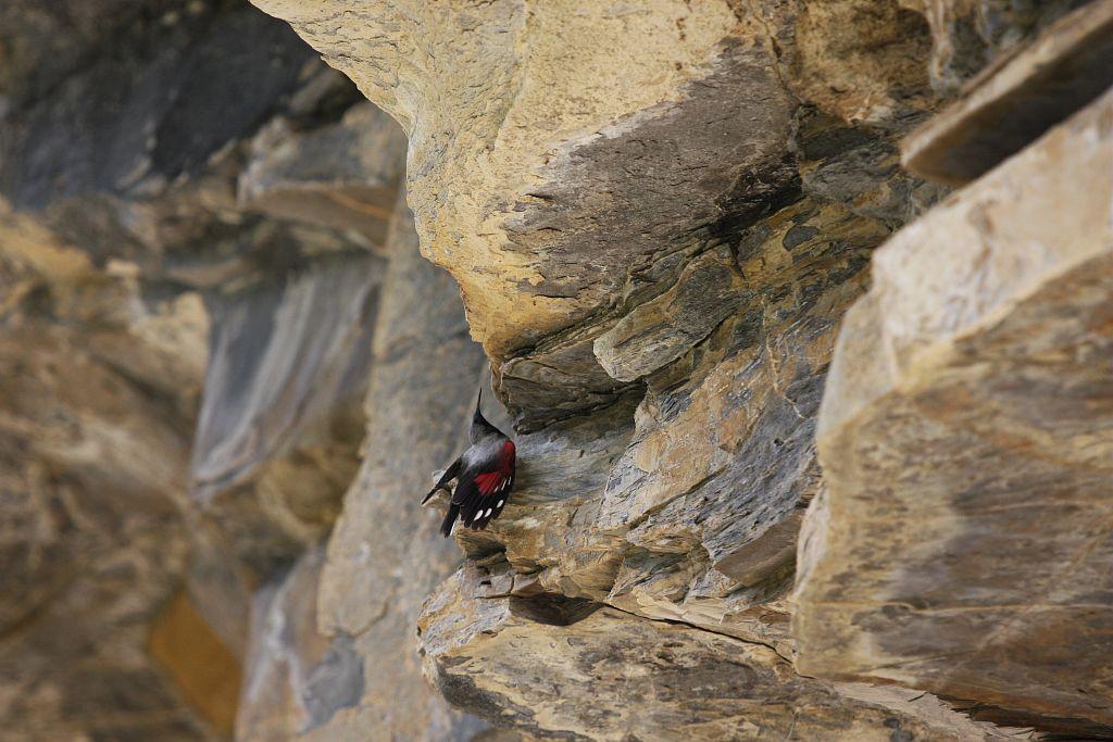Tichodrome échelette mâle © Damien Combrisson - Parc national des Ecrins