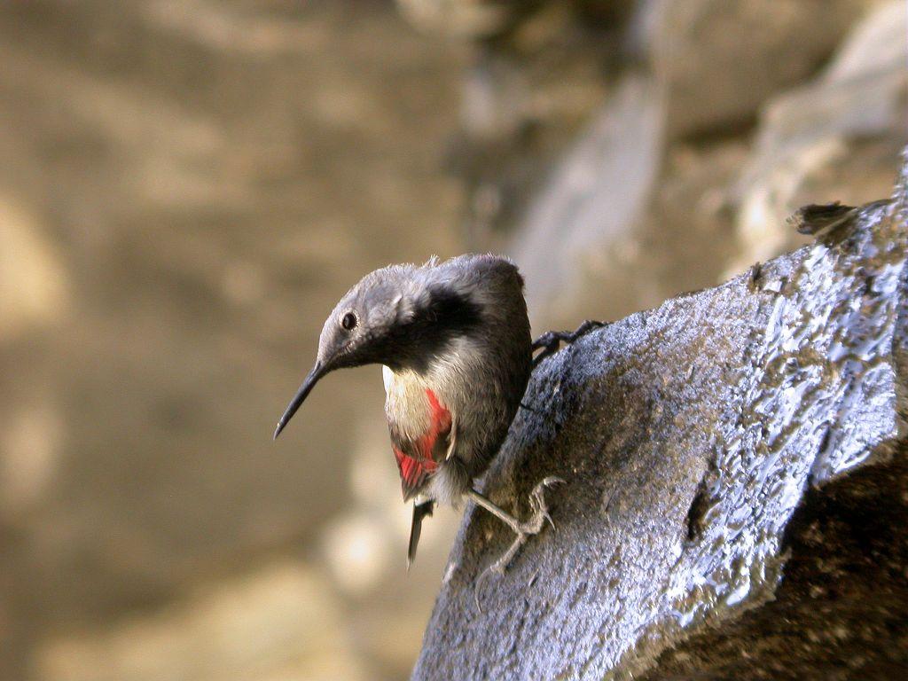 Tichodrome échelette © Damien Combrisson - Parc national des Ecrins
