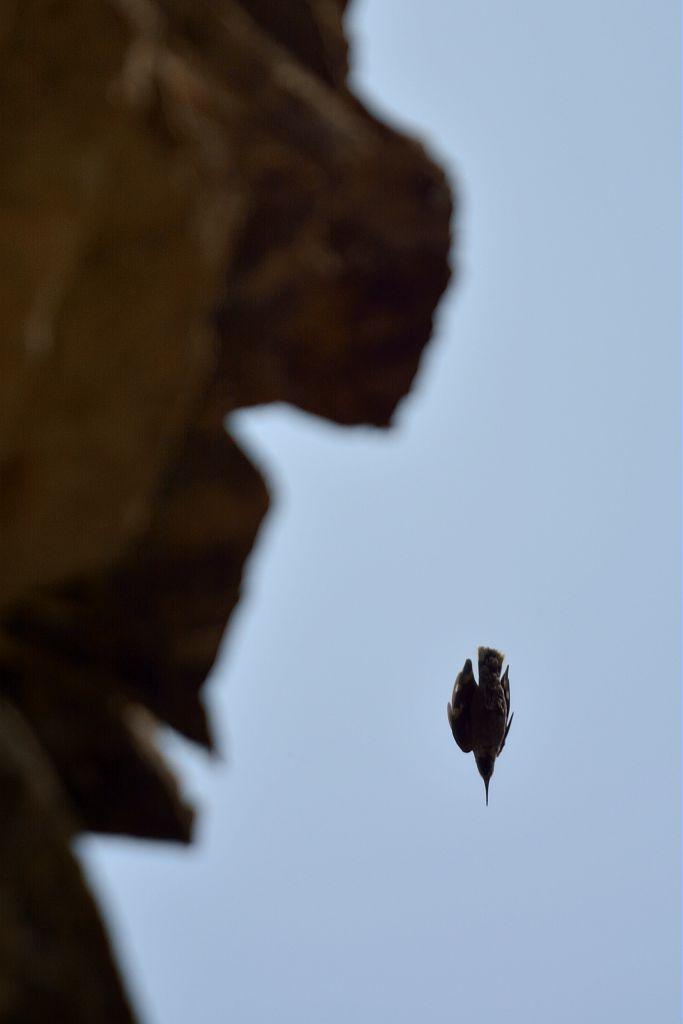 Tichodrome échelette en vol nourrissage © Mireille Coulon - Parc national des Ecrins