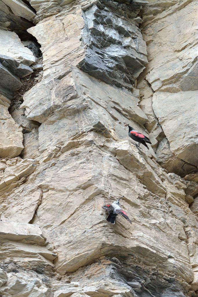Tichodrome échelette le couple nourrissage © Mireille Coulon - Parc national des Ecrins