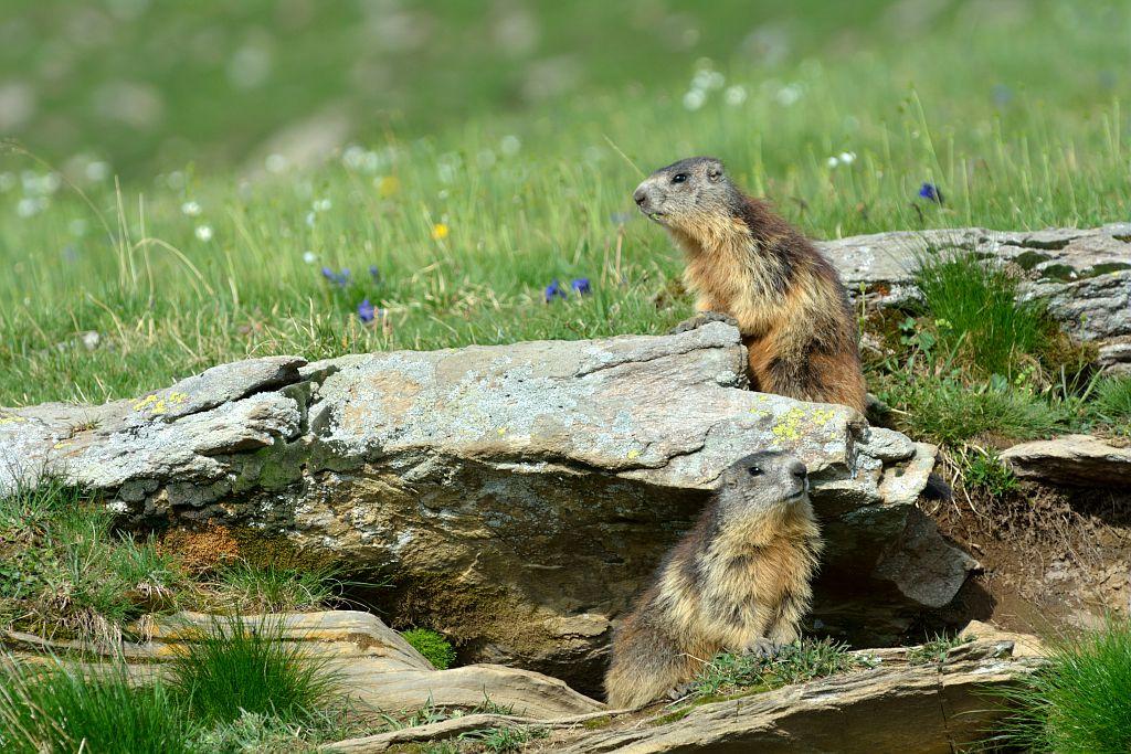 Marmottes à leur terrier © Mireille Coulon - Parc national des Ecrins