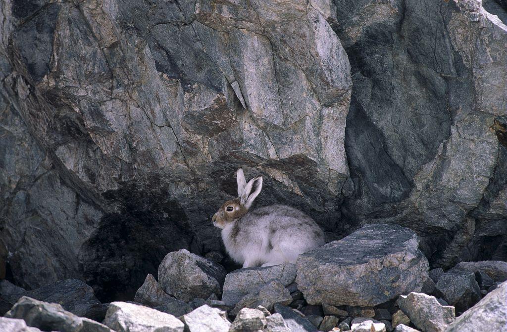 Lièvre variable © Robert Chevalier - Parc national des Ecrins