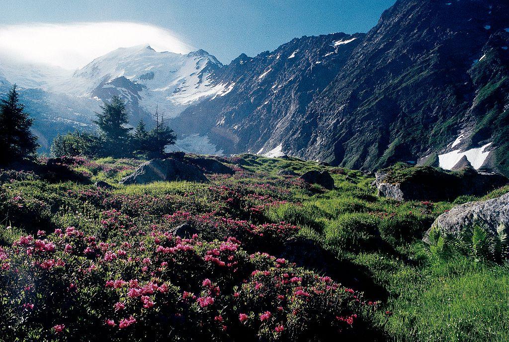 Landes d'ubac (ou landes à rhododendrons) © Parc national des Ecrins