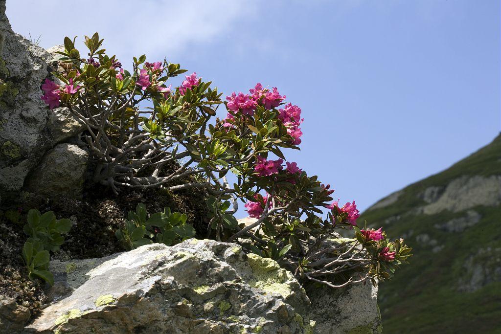Rhododendron ferrugineux © Bernard Nicollet - Parc national des Ecrins