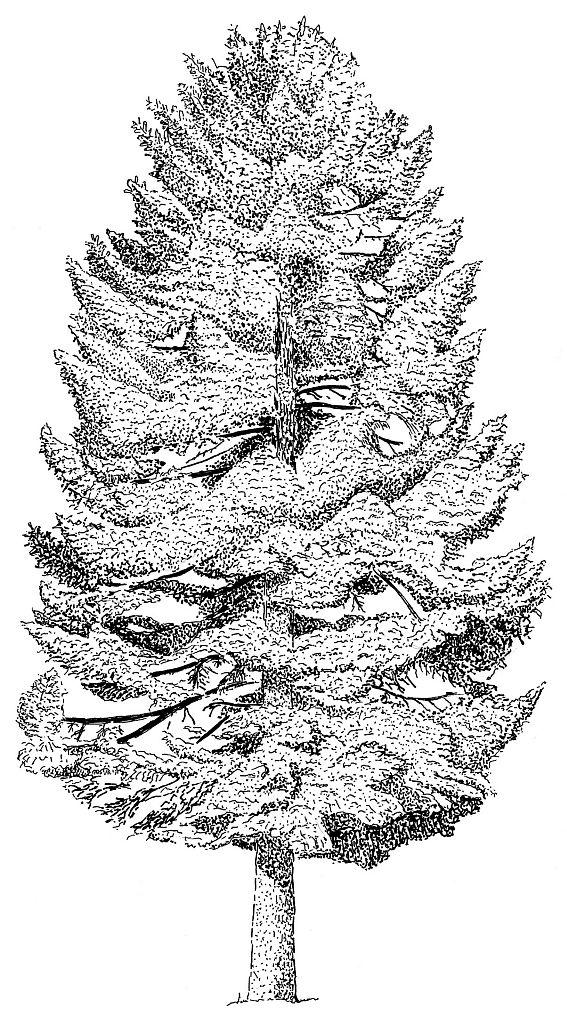 Sapin blanc © Frédérique Levy - Parc national des Ecrins