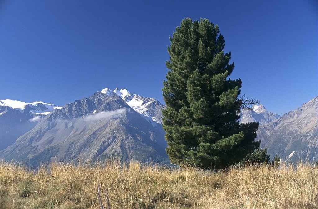 Pin cembro © Bernard Nicollet - Parc national des Ecrins
