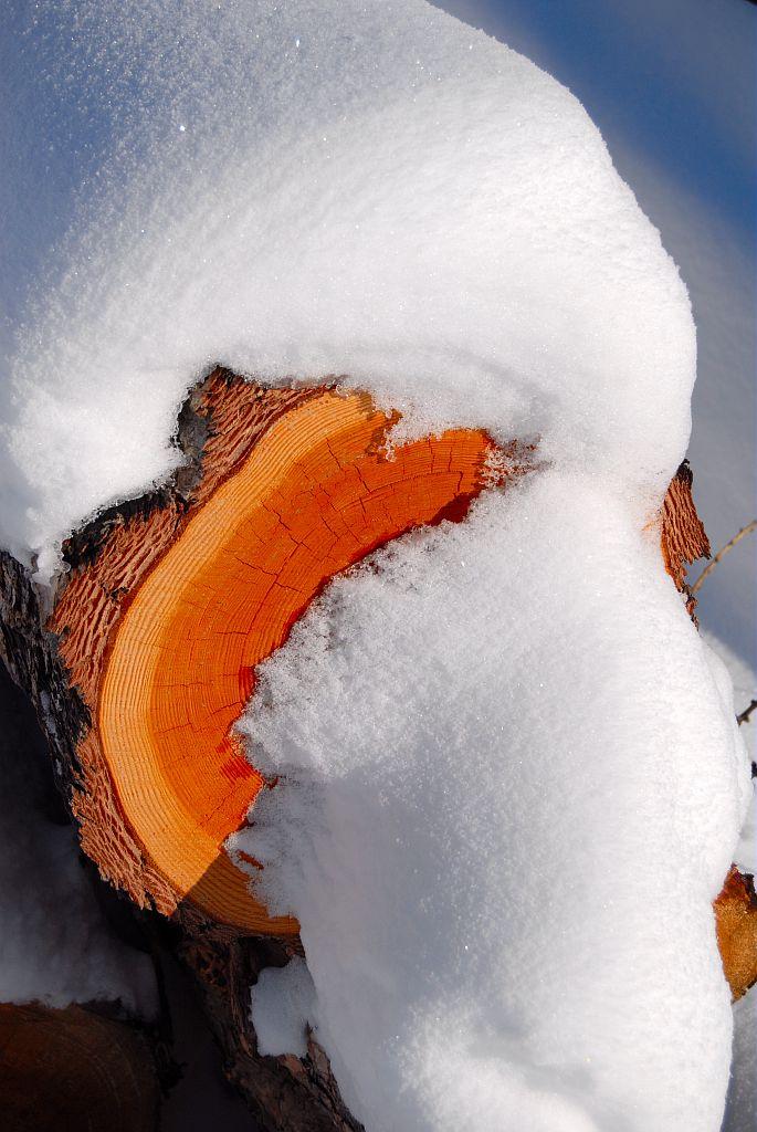 Mélèze scié sous la neige © Mireille Coulon - Parc national des Ecrins
