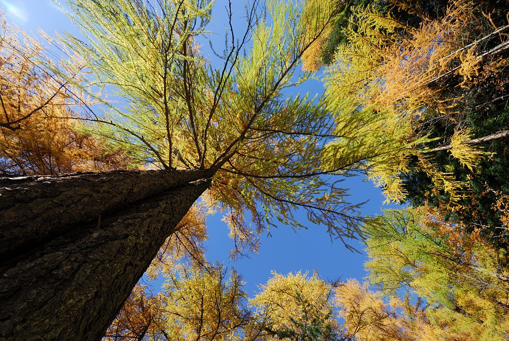Mélèzes à l'automne © Mireille Coulon - Parc national des Ecrins