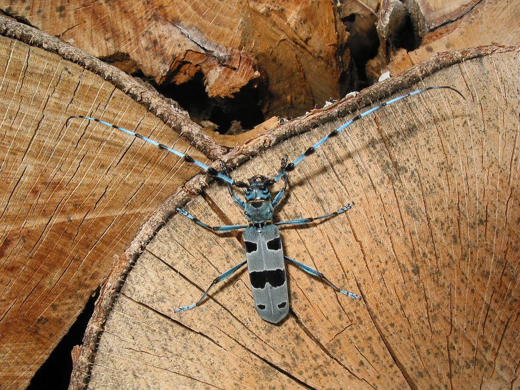 Rosalie des Alpes sur stère de bois de hêtre sur le site du Boucher, commune du Périer © Jean-Pierre Nicollet - Parc national des Ecrins