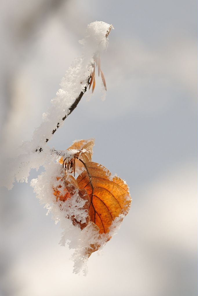 Feuille de hêtre givrée © Mireille Coulon - Parc national des Ecrins