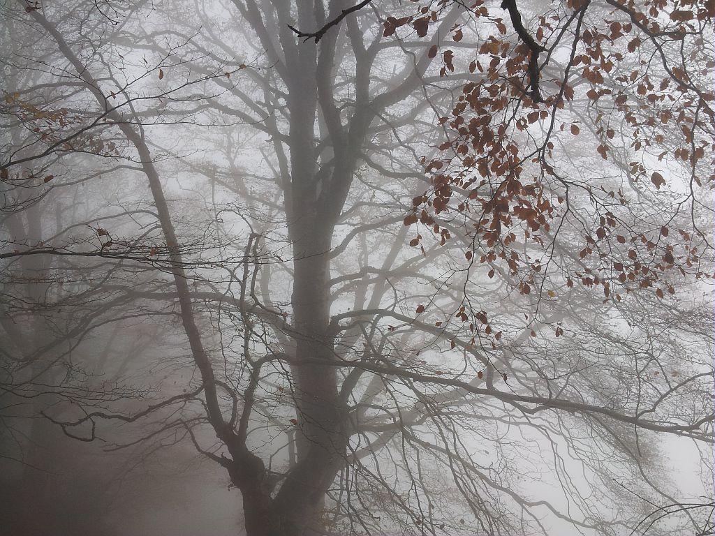 Vieux hètre dans la brume - Le Touret © Bernard Nicollet - Parc national des Ecrins