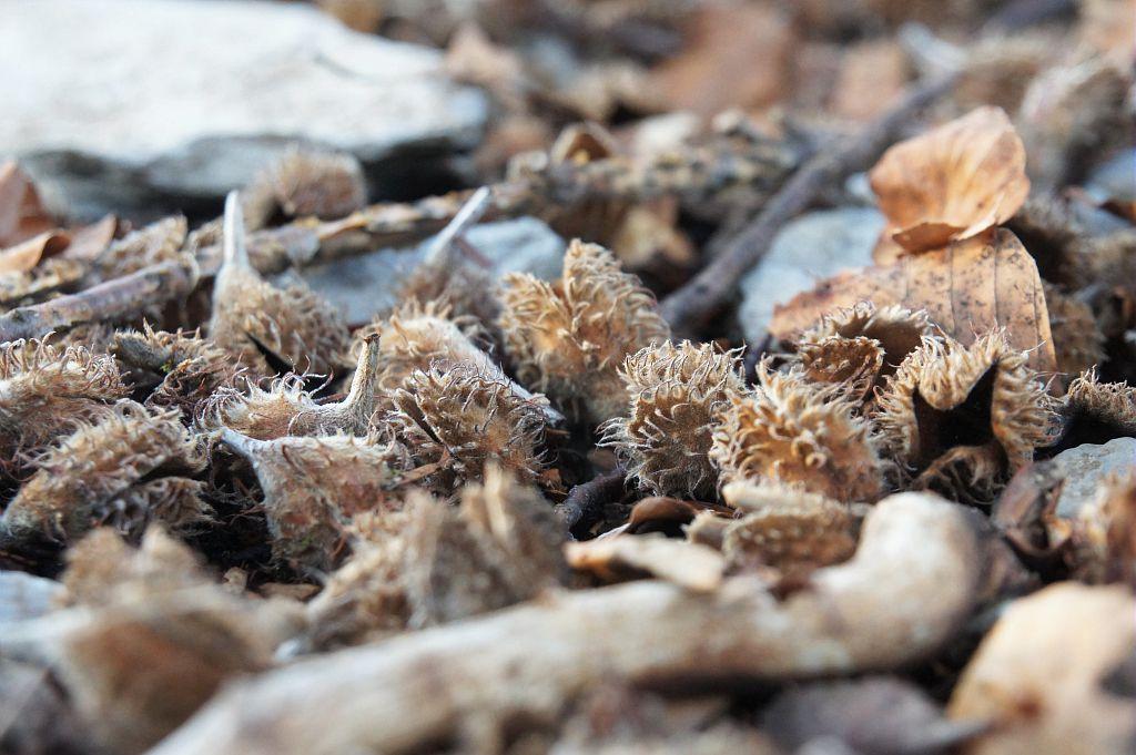 Des faînes, fruit du hêtre © Ludovic Imberdis - Parc national des Ecrins