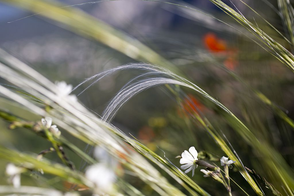 Stipe pennée sur la commune des Vigneaux © Pascal Saulay - Parc national des Ecrins