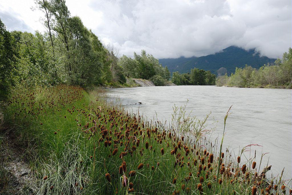 Petite massette - rives de la  Durance - Embrunais © Mireille Coulon - Parc national des Ecrins