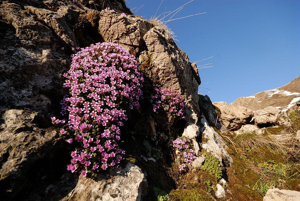 Coussinet de saxifrage à feuilles opposées © Mireille Coulon - Parc national des Ecrins