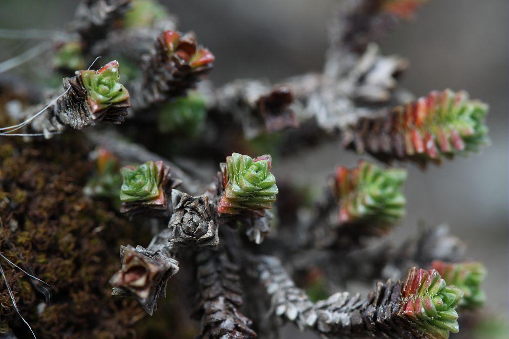 Saxifrage à feuilles opposées Saxifragacées - Feuilles en colonnettes - Rocailles - Tête de Vautisse - Réotier © Cédric Dentant - Parc national des Ecrins