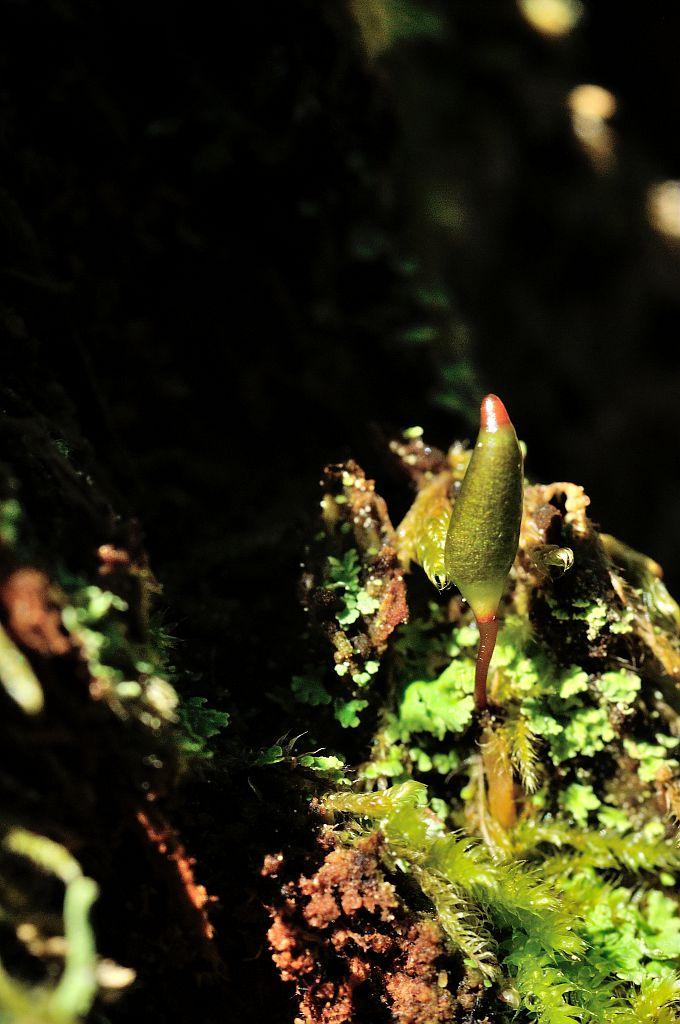 Buxbaumie sur bois pourissant © Mireille Coulon - Parc national des Ecrins
