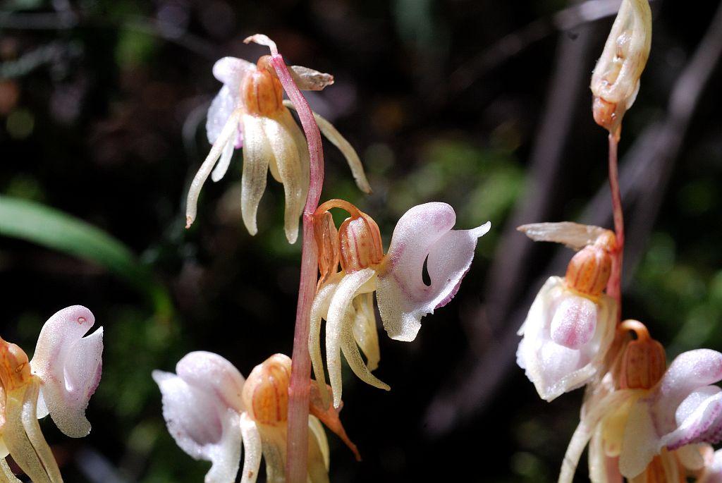 Epipogon sans feuilles © Mireille Coulon - Parc national des Ecrins