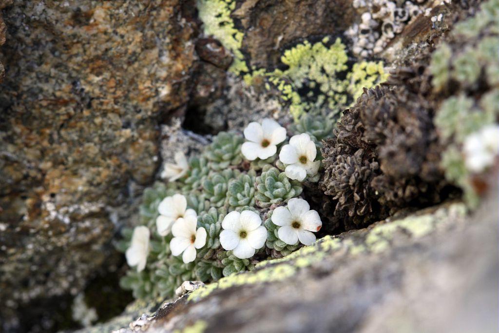 Androsace de Vandelli - Primulacées - Granite, vers refuge du Pigeonnier (Valgaudemar) © Cédric Dentant - Parc national des Ecrins