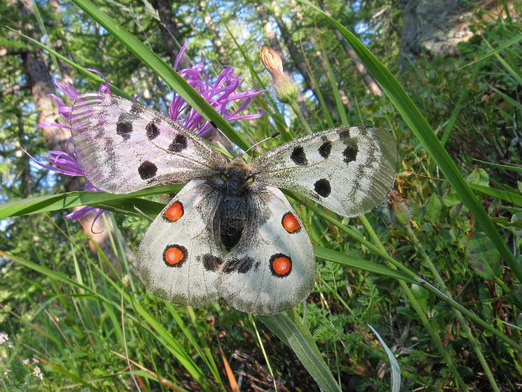 L'apollon - parnassius apollo © Claire Broquet - Parc national des Ecrins