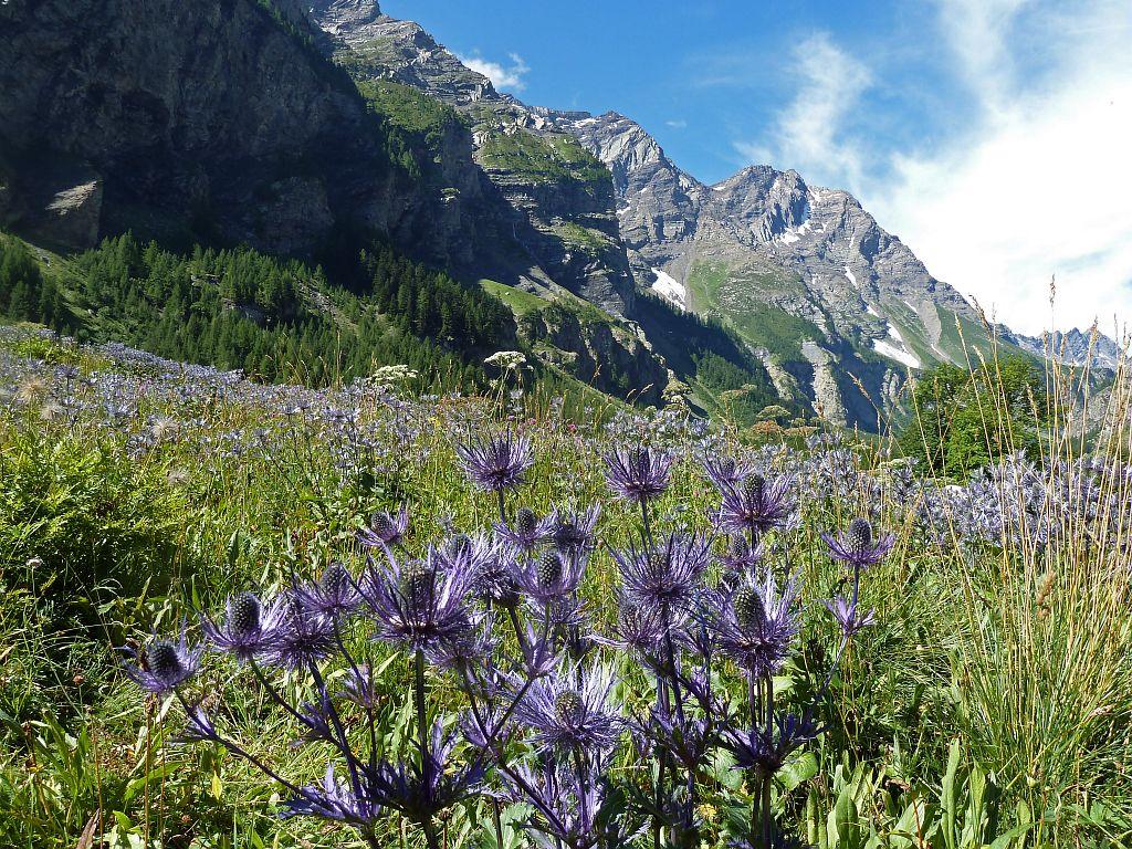 Chardons bleus, réserve biologique des Deslioures, vallon du Fournel © Blandine Delenatte, Parc national des Ecrins
