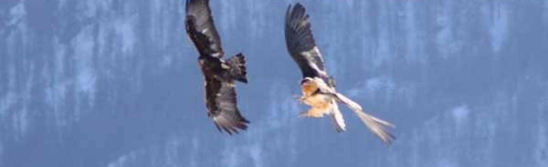 Querelle entre un aigle et un gypaète - fev 2010 © C-Couloumy - Parc national des Ecrins
