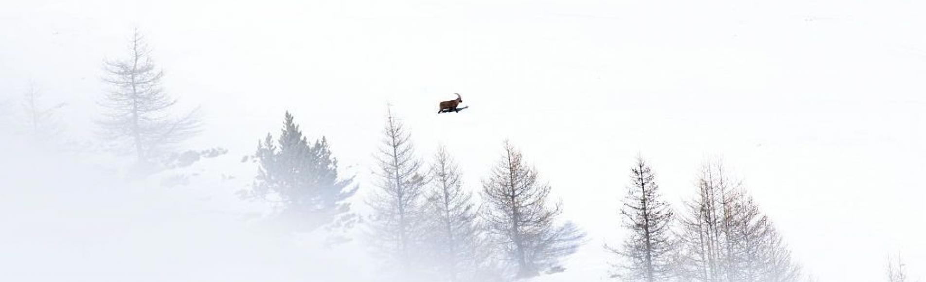 Bouquetin en hiver dans la neige - © T. Maillet - PNE
