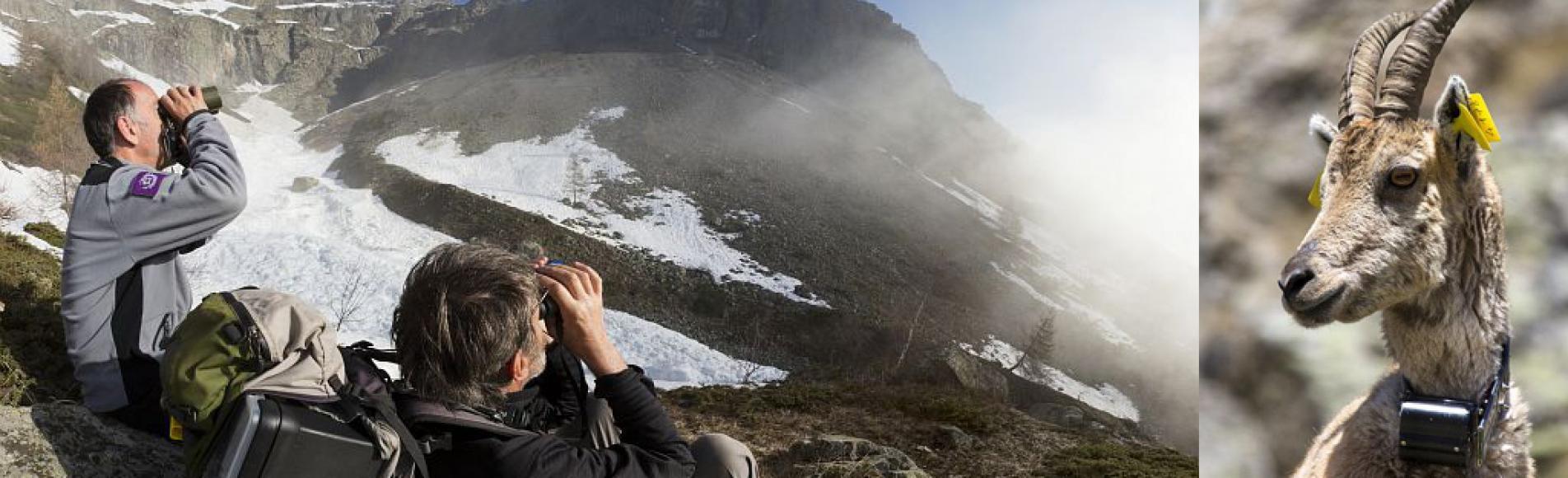 programme suivi GPS bouquetins Parc national des Ecrins