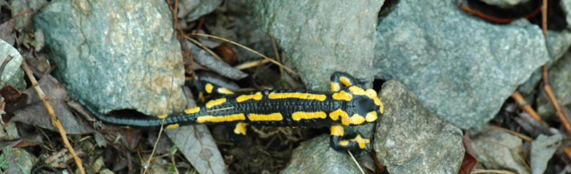 Salamandre - © Oliver Warluzelle - Parc national des Ecrins