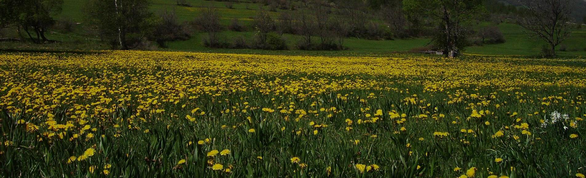 Prairie de fleurs jaunes © B.Nicollet - Parc national des Ecrins