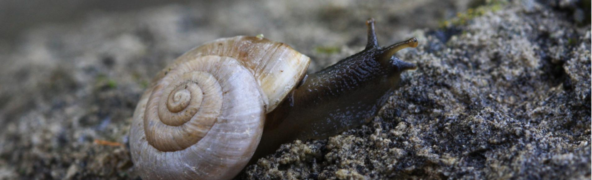 Chilostoma fontenillii alpinum - Escargot montagnard- © Damien Combrisson - Parc national des Écrins