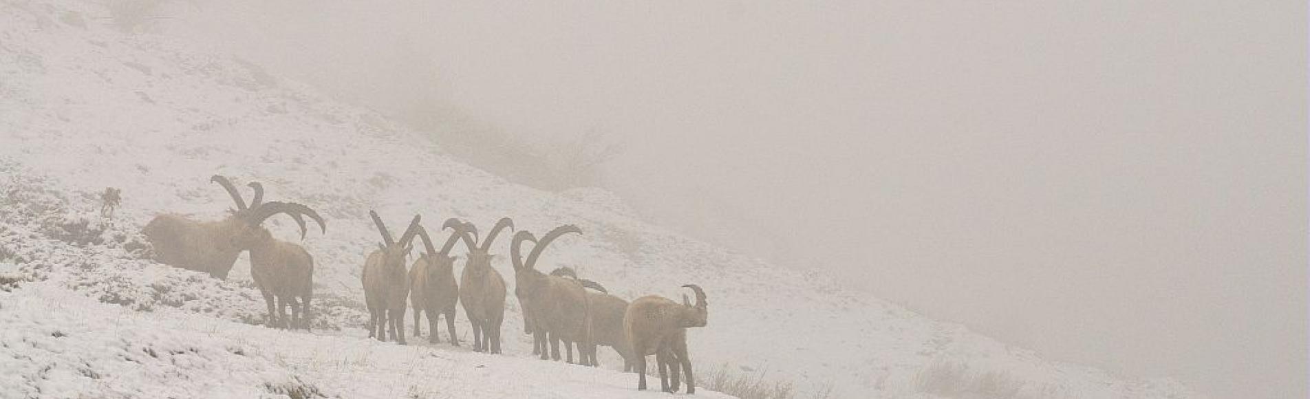 Bouquetins mâles, neige et brume © M. Coulon, PNE.
