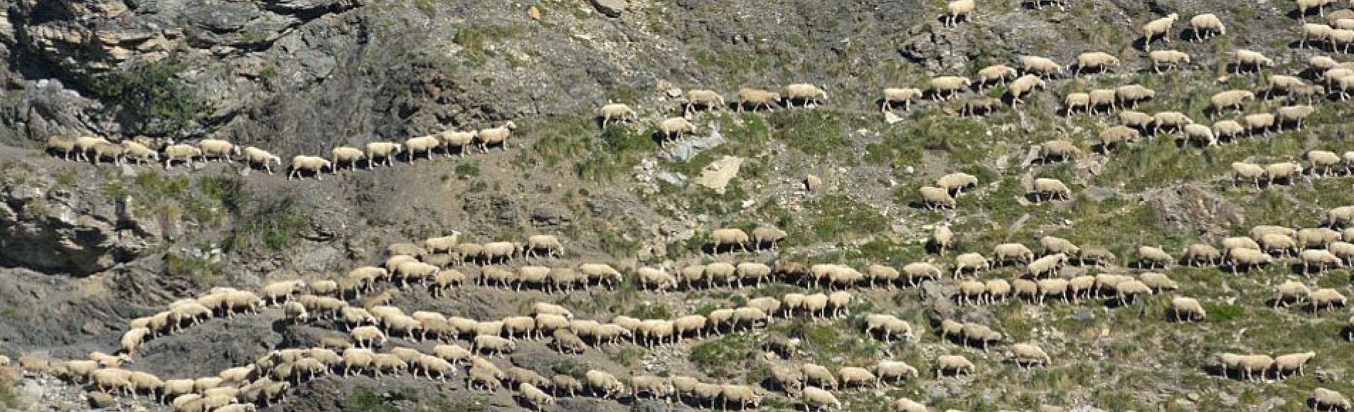 Troupeau de brebis © M.Coulon - Parc national des Écrins
