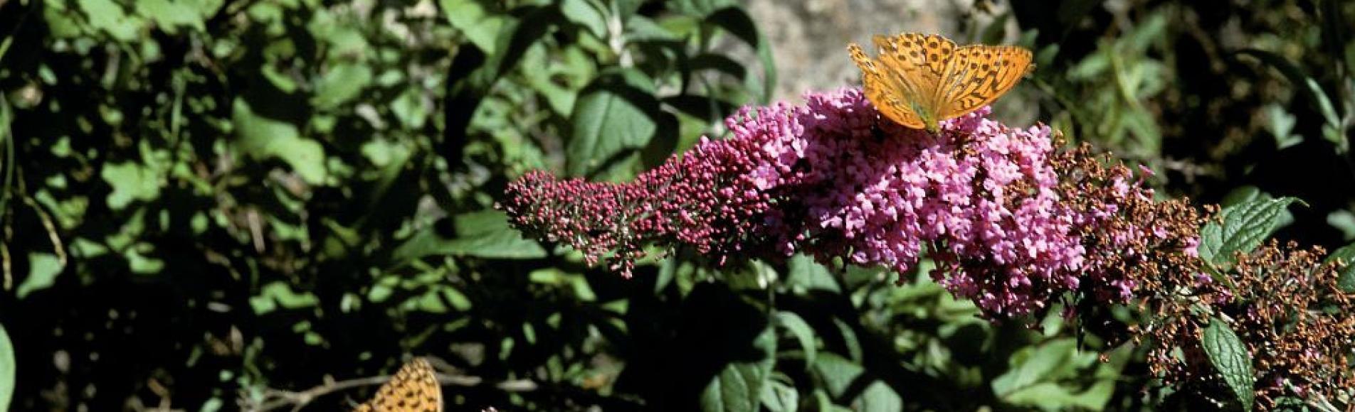 arbre à papillons - M.Coulon - Parc national des Ecrins