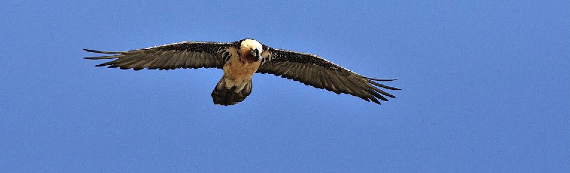 Gypaète en vol, avril 2013 - © M.Coulon- Parc national des Écrins