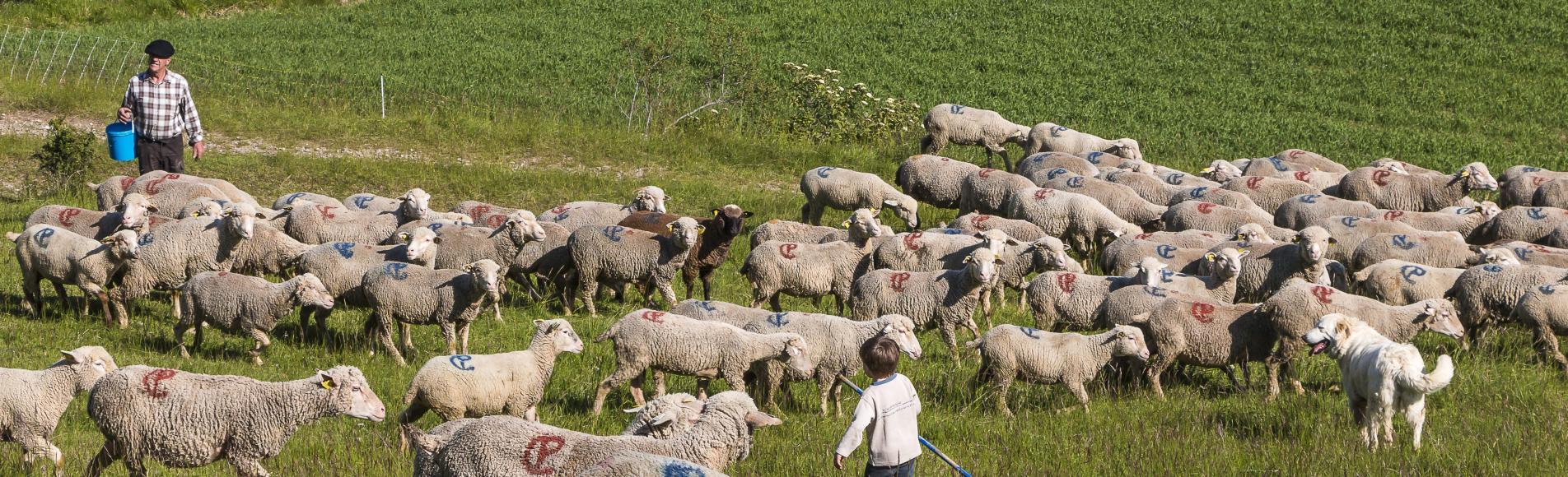 Troupeau d'ovins © Bertrand Bodin - Parc national des Ecrins