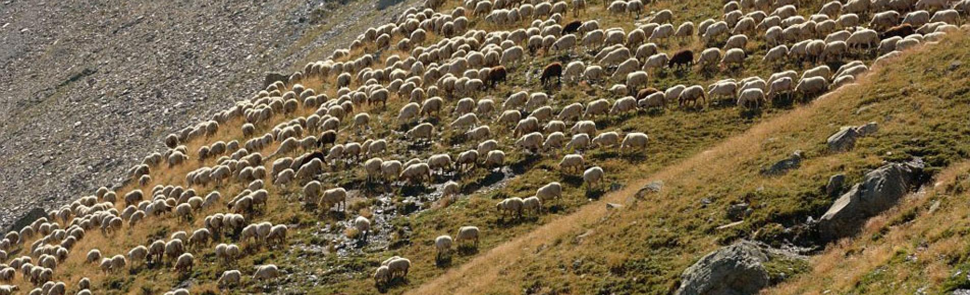 Troupeau dans les Ecrins © M.Coulon - Parc national des Ecrins