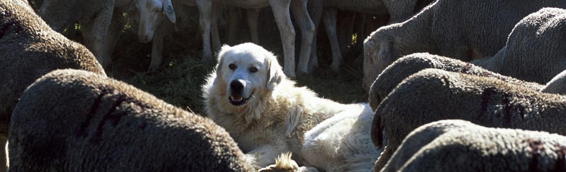 chien de protection au milieu du troupeau - photo JP Nicollet - Parc national des Ecrins
