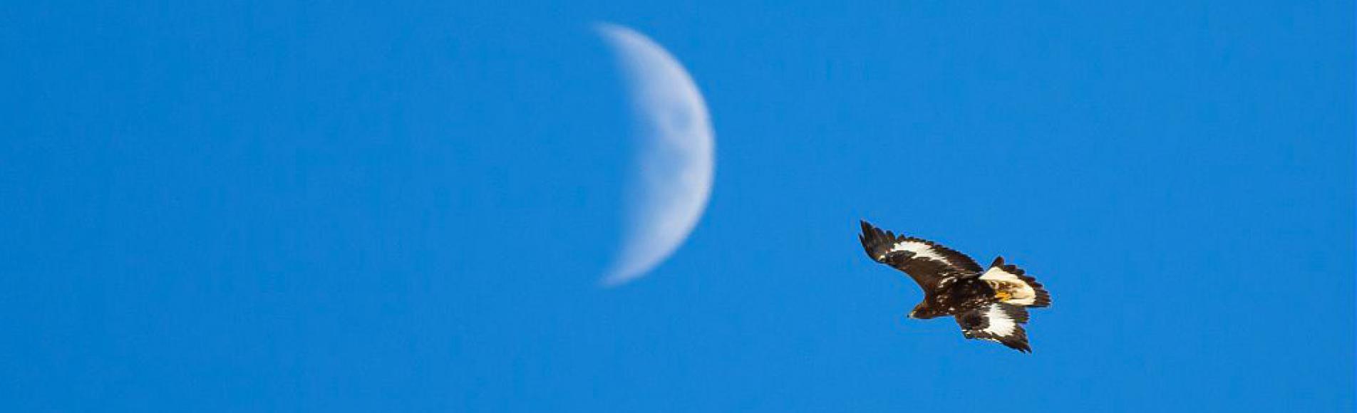 aigle royal - photo Pascal Saulay - Parc national des Ecrins